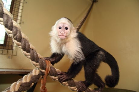 Justin Bieber's monkey Mally moves into his new home in the Serengeti Park in Germany